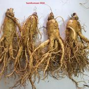 Nhân sâm tươi cao câp nhập khẩuHàn Quốc 4 củ trên kg - SamKumsan Hq4